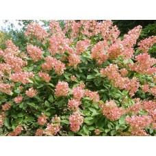 Hortenzija šluotelinė (Hydrangea paniculata) Pink Diamond