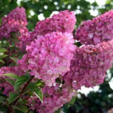 Hortenzija šluotelinė (Hydrangea paniculata) Sundae Fraise