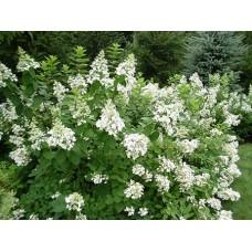 Hortenzija šluotelinė (Hydrangea paniculata) Tardiva