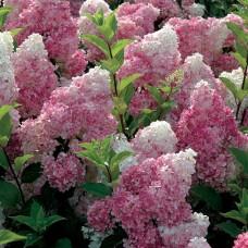 Hortenzija šluotelinė (Hydrangea paniculata) Vanille Fraise