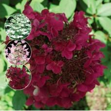 Hortenzija šluotelinė (Hydrangea paniculata) Wims Red