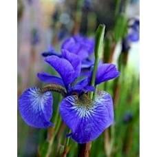Vilkdalgis sibirinis (Iris sibirica) Blau