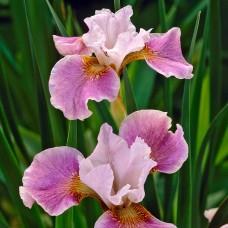 Vilkdalgis sibirinis (Iris sibirica) Dance Ballerina Dance
