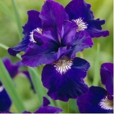 Vilkdalgis sibirinis (Iris sibirica) Shirley Pope