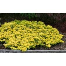 Kadagys horizontalusis (Juniperus horizontalis) Golden Carpet