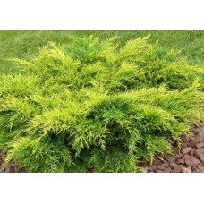 Kadagys tarpinis (Juniperus media) Old Gold
