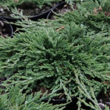 Kadagys horizontalusis (Juniperus horizontalis) Pancake