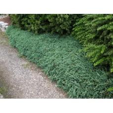 Kadagys horizontalusis (Juniperus horizontalis) Wiltoni