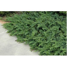 Kadagys pajūrinis (Juniperus conferta) Emerald Sea