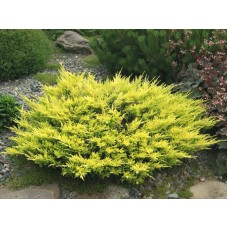 Kadagys horizontalusis (Juniperus horizontalis) Lime glow