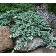 Kadagys horizontalusis (Juniperus horizontalis) Icee Blue