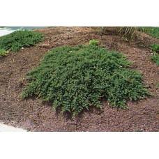 Kadagys gulsčiasis (Juniperus procumbens) Nana