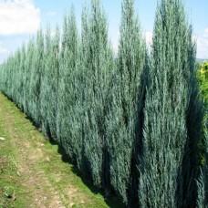 Kadagys uolinis (Juniperus scopulorum) Blue Arrow