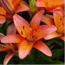 Lelija (Lilium orient) Forever marjolein