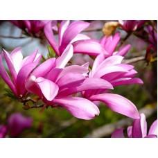 Magnolija (Magnolia) Betty