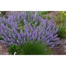 Katžolė (Nepeta) Purple Haze