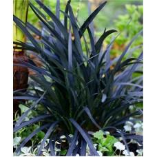 Gyvatbarzdė (Ophipogon) Black Dragon