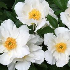 Bijūnas (Paeonia) Krinkled White