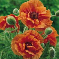 Aguona (Papaver) Harvest Moon