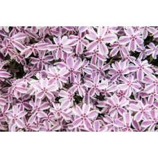 Flioksas (Phlox sub.) Candy Stripes