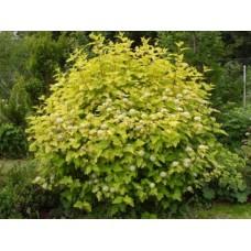 Pūslenis putinalapis (Physocarpus opulifolius) Luteus