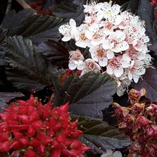 Pūslenis putinalapis (Physocarpus opulifolius) Red Baron