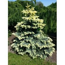 Eglė dygioji (Picea pungens) Bialobok