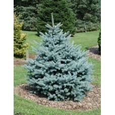 Eglė dygioji (Picea pungens) Fat Albert