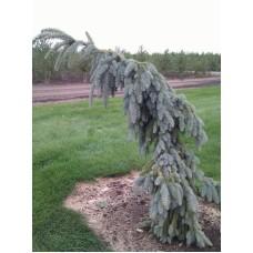Eglė dygioji (Picea pungens) Glauca Pendula