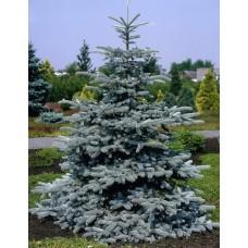 Eglė dygioji (Picea pungens) Hoopsii