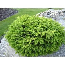 Eglė paprastoji (Picea abies)  Nidiformis