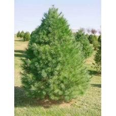 Pušis kedrinė (Pinus cembra)