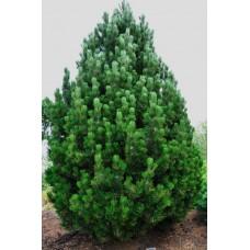 Pušis baltažievė (Pinus leucodermis) Compact Gem