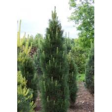Pušis juodoji (Pinus nigra) Green Tower