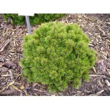 Pušis kalninė (Pinus mugo) Mops