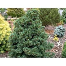 Pušis smulkiažiedė (Pinus parviflora) Negishii