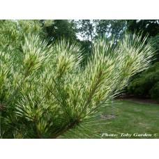 Pušis japoninė (Pinus densiflora) Oculus-draconis