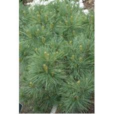 Pušis veimutinė (Pinus strobus)