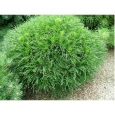 Pušis kalninė (Pinus mugo) Varella