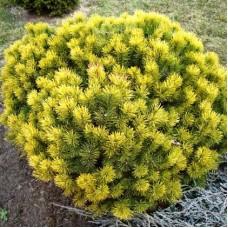 Pušis kalninė (Pinus mugo) Winter Gold