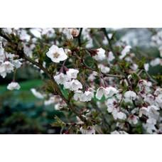 Sakura (Prunus incisa) Kojou No Mai