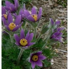 Šilagėlė (Pulsatilla) Violet Blue
