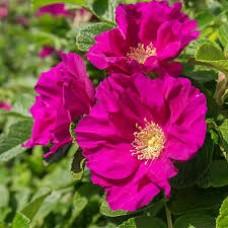 Erškėtis raukšlėtalapis (Rosa rugosa) Rubra