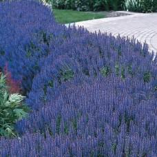 Šalavijas (Salvia nem.) Blue Hill