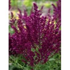 Šalavijas (Salvia nem.) Schwellenburg