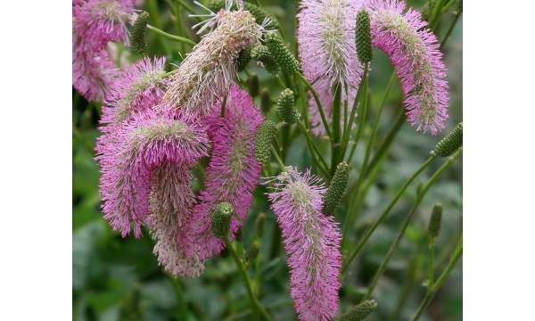 Kraujalakė (Sanguisorba) Pink Brushes
