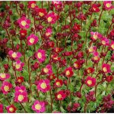 Uolaskėlė (Saxifraga) Pixie Pan Red