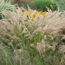 Ašuotė (Stipa calamagrostis)