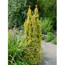 Kukmedis europinis (Taxus baccata) David