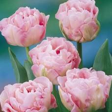 Tulpė (Tulip) Angelique